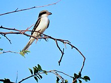Southern grey shrike by irvin DSCN2699.JPG