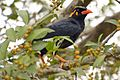 Southern hill myna (Gracula indica) on a ficus tree in anaimalai hills DSC 2668.jpg