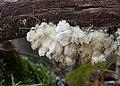 Spaltblättling Schizophyllum commune.jpg