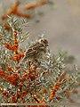 Spanish Sparrow (Passer hispaniolensis) (33613487364).jpg