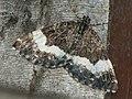 Spargania luctuata - White-banded carpet - Ларенция кипрейная (27088077538).jpg