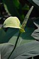 Spathiphyllum - Alipore - Kolkata 2013-02-10 4662.JPG