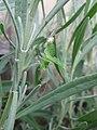 Speckled bush-cricket (Leptophyes punctatissima) shedding its skin, Sandy, Bedfordshire (5848708122).jpg