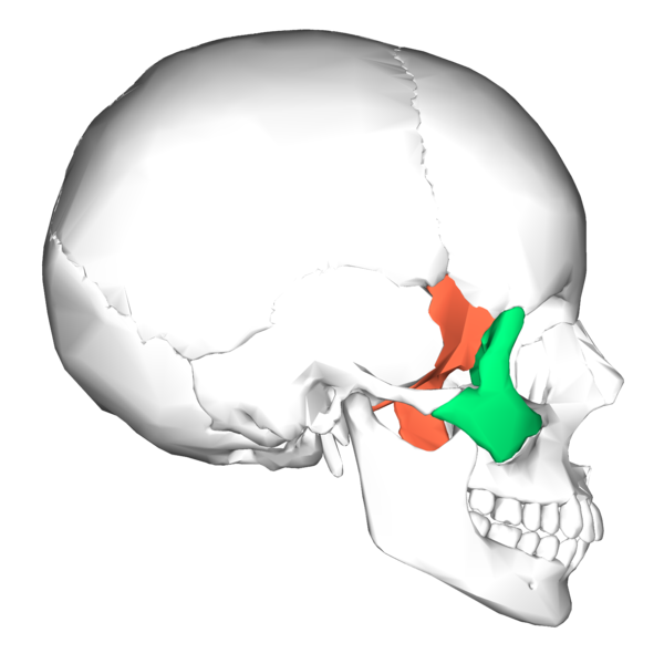 File:Sphenoid bone and zygomatic bone - lateral view.png - Wikimedia ...