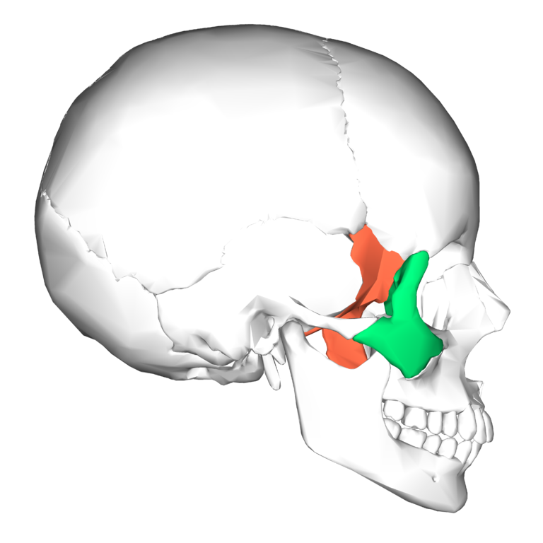 file:sphenoid bone and zygomatic bone - lateral view, Human Body