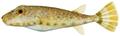 Sphoeroides spengleri - pone.0010676.g198.png