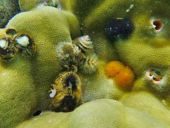 Christmas tree worms (Spirobranchus giganteus) in a Porites.