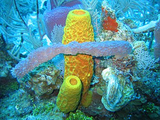 Demosponge - Included are the yellow tube sponge, Aplysina fistularis, the purple vase sponge, Niphates digitalis, the red encrusting sponge, Spiratrella coccinea, and the gray rope sponge, Callyspongia sp.