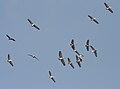 Spot-billed Pelican (Pelecanus philippensis) hovering Uppalpadu in AP W IMG 2874.jpg
