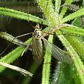 Spotted Cranefly - Nephrotoma sp. Possibly Nephrotoma appendiculata - Flickr - gailhampshire.jpg
