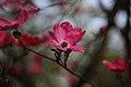 Spring-pink-bloom-bokeh - West Virginia - ForestWander.jpg