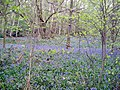 Spring bluebells in the Outwoods, Loughborough - geograph.org.uk - 165402.jpg