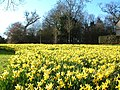 Spring daffs' in Broad Hinton - geograph.org.uk - 525349.jpg
