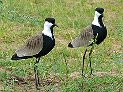 Spur-winged Lapwings (Vanellus spinosus) (18011538650).jpg