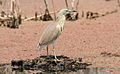 Squacco Heron, Ardeola ralloides at Marievale Nature Reserve, Gauteng, South Africa (15022517333).jpg