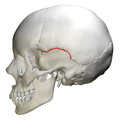 Squamosal suture - skull - lateral view.png