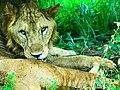 Srilankan Lion.jpg
