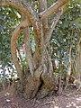 Starr-030418-0145-Schinus terebinthifolius-stems-Makawao-Maui (24630690135).jpg