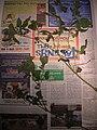 Starr-050326-5331-Solanum americanum-voucher 050225 4-Manana-Oahu (24373471789).jpg