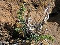 Starr-051202-5615-Pellaea ternifolia-habit-Science City-Maui (24482404349).jpg