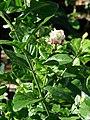 Starr-080103-1249-Jasminum sambac-flowers and leaves-Lowes Garden Center Kahului-Maui (24781441022).jpg