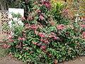 Starr-090417-6120-Clerodendrum x speciosum-flowering habit-Haliimaile-Maui (24858839631).jpg