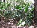 Starr-090610-0607-Livistona chinensis-wilding habit in Eucalyptus understory-Haiku-Maui (24937761196).jpg