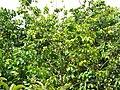 Starr-090617-0895-Sandoricum koetjape-habit-Ulumalu Haiku-Maui (24338138143).jpg