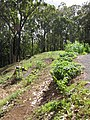 Starr-090707-2388-Physalis peruviana-in vegetable garden-Olinda-Maui (24851038172).jpg