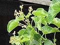Starr-090713-2611-Jatropha curcas-flowers and leaves-Lahaina-Maui (24851427762).jpg