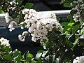Starr-090720-3014-Lagerstroemia indica-flowers and leaves-Waiehu-Maui (24674594390).jpg