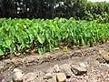Starr-090720-3065-Colocasia esculenta-habit in loi-Waiehu-Maui (24852194982).jpg