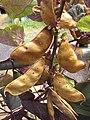 Starr-090803-3635-Lablab purpureus-seedpods-Wailuku-Maui (24944745596).jpg