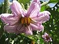 Starr-091108-9423-Solanum melongena-flower Black Beauty globe-Olinda-Maui (24962988286).jpg