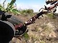 Starr-100630-8004-Bidens pilosa-habit with scales on stems-Polipoli-Maui (24675228599).jpg