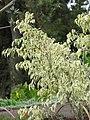Starr-110307-2841-Ficus benjamina-variegated leaves-Kula Botanical Garden-Maui (24985570601).jpg