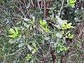 Starr-120319-3962-Macadamia integrifolia-some leaf margins entire-Upper Kimo Kula-Maui (25019824952).jpg