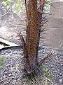 Starr-120522-6613-Phoenicophorium borsigianum-spiny stem-Iao Tropical Gardens of Maui-Maui (25143630295).jpg