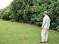 Starr-120606-6855-Hibiscus tiliaceus-habit with Kim-Kahanu Garden NTBG Hana-Maui (24517562093).jpg