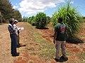Starr-120702-7896-Cenchrus purpureus x glaucum-Hoolehua PMC hybrid Pearl Millet x banagrass with Bob Kim and Kawika-USDA Plant Materials Center-Molokai (25092970601).jpg