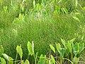 Starr-130322-3865-Cyperus laevigatus-in taro loi-Hanalei NWR-Kauai (25183491846).jpg