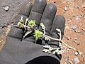 Starr-130617-5015-Tribulus terrestris-thorny caltrop seeds and leaves-Kealia Pond NWR-Maui (24916628490).jpg