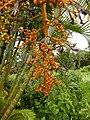 Starr-141027-2651-Chrysalidocarpus lutescens-fruit-Nahiku-Maui (25220574466).jpg