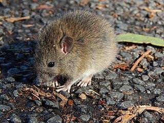 Polynesian rat species of mammal