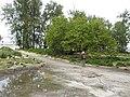 Starr-150327-0689-Thespesia populnea-habit-Clipper House Sand Island-Midway Atoll (25268388785).jpg