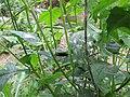 Starr-160122-3521-Crassocephalum crepidioides-Secusio extensa larva feeding on leaves-Hawea Pl Olinda-Maui (26947143285).jpg