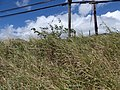 Starr-160908-0540-Solanum torvum-habit along Hwy-Waikapu-Maui (29377794570).jpg