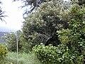 Starr 020813-0030 Heritiera littoralis.jpg