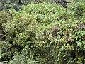 Starr 020813-0044 Syzygium sandwicensis.jpg
