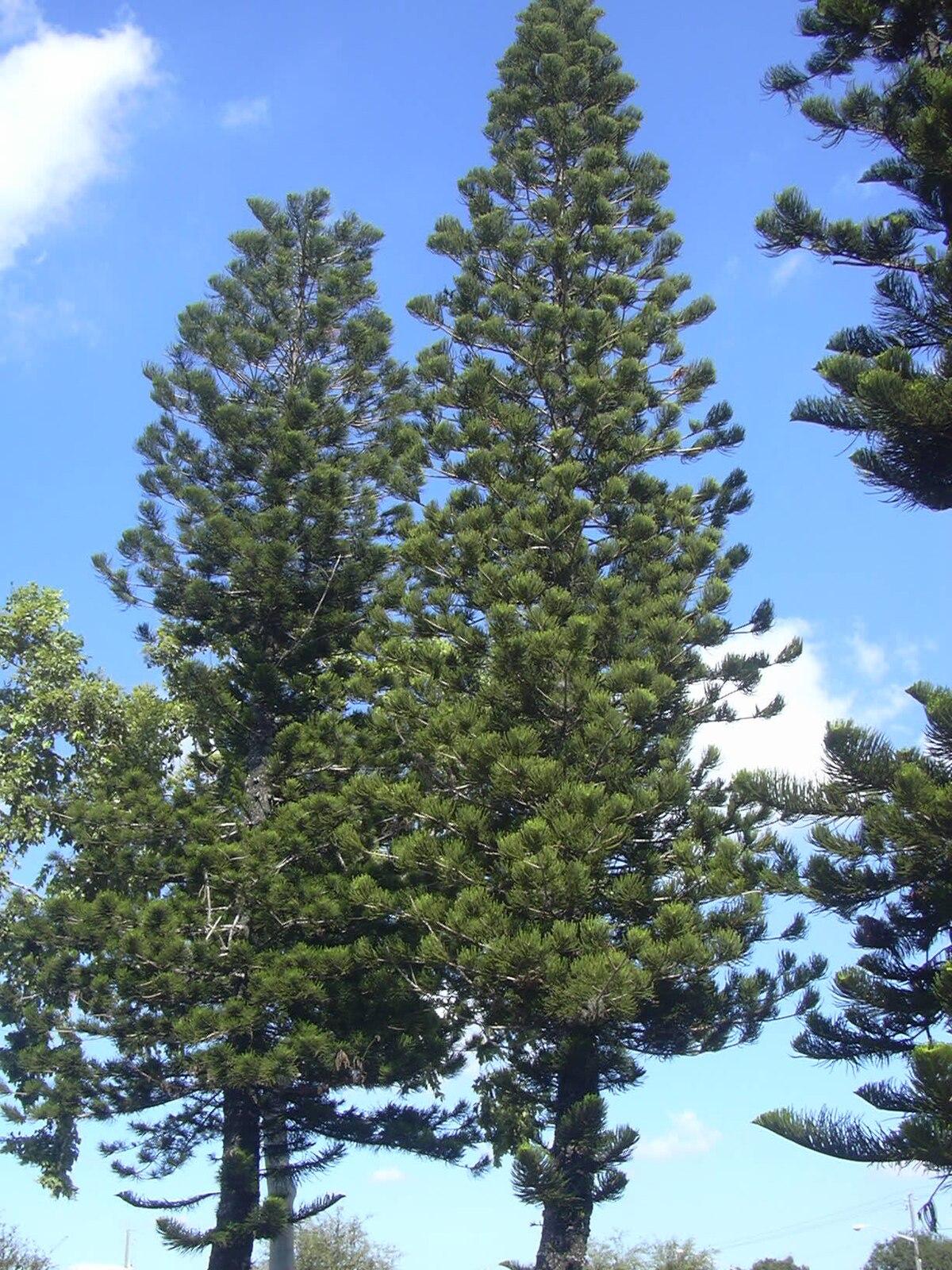 Araucaria - Wikipedia